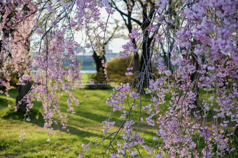 Το όμορφο ρόδινο κεράσι ShidarezakuraWeeping ανθίζει στο πάρκο Tenshochi, Kitakami, Iwate, Tohoku, Ιαπωνία την άνοιξη στοκ φωτογραφίες