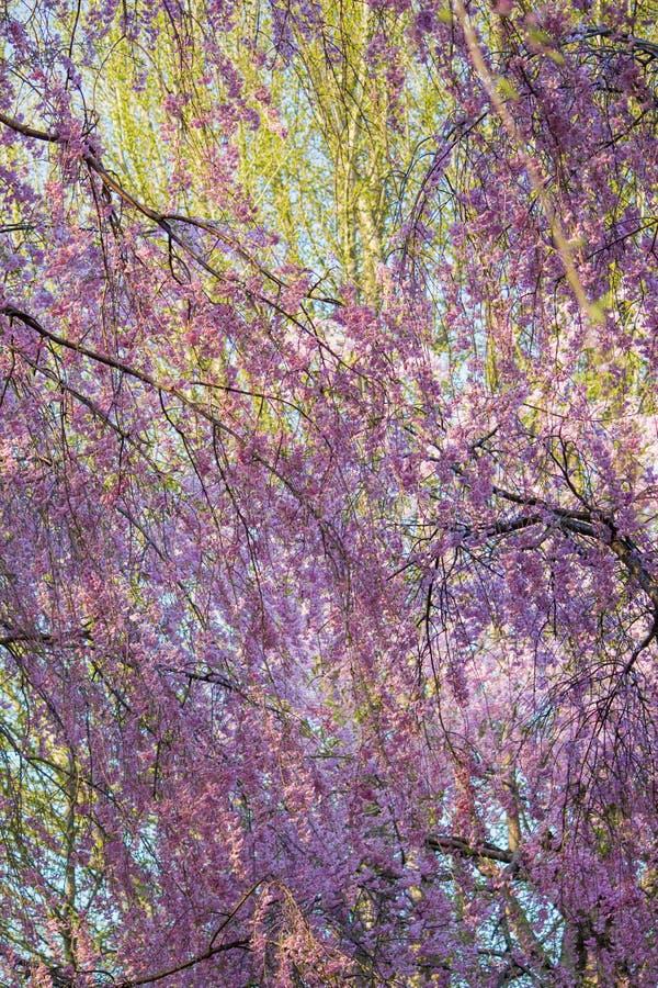 Το όμορφο ρόδινο κεράσι ShidarezakuraWeeping ανθίζει στο πάρκο Tenshochi, Kitakami, Iwate, Tohoku, Ιαπωνία την άνοιξη στοκ φωτογραφία με δικαίωμα ελεύθερης χρήσης