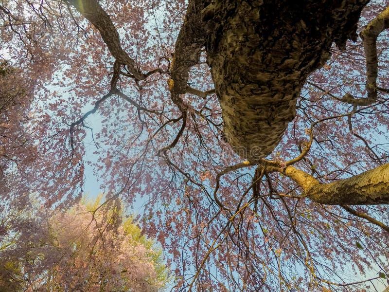 Το όμορφο ρόδινο κεράσι ShidarezakuraWeeping ανθίζει στο πάρκο Tenshochi, Kitakami, Iwate, Tohoku, Ιαπωνία την άνοιξη στοκ εικόνα