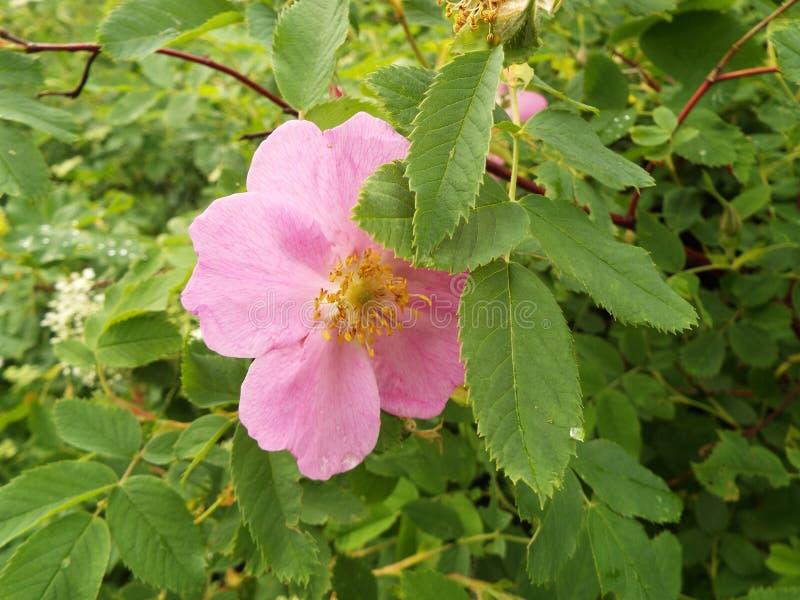 Το όμορφο ρόδινο λουλούδι άγριο αυξήθηκε στον κήπο το καλοκαίρι στοκ φωτογραφία με δικαίωμα ελεύθερης χρήσης