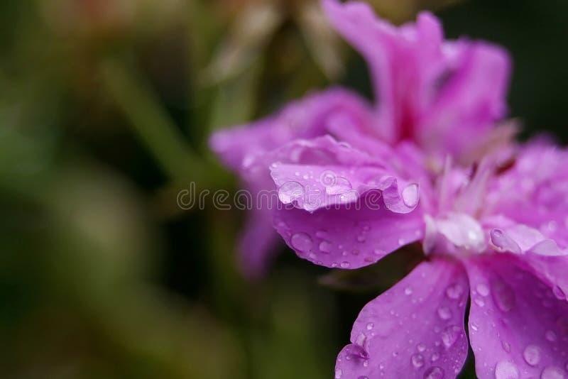 Το όμορφο ρόδινο λουλούδι με τις σταγόνες βροχής κλείνει αυξημένος στοκ φωτογραφίες