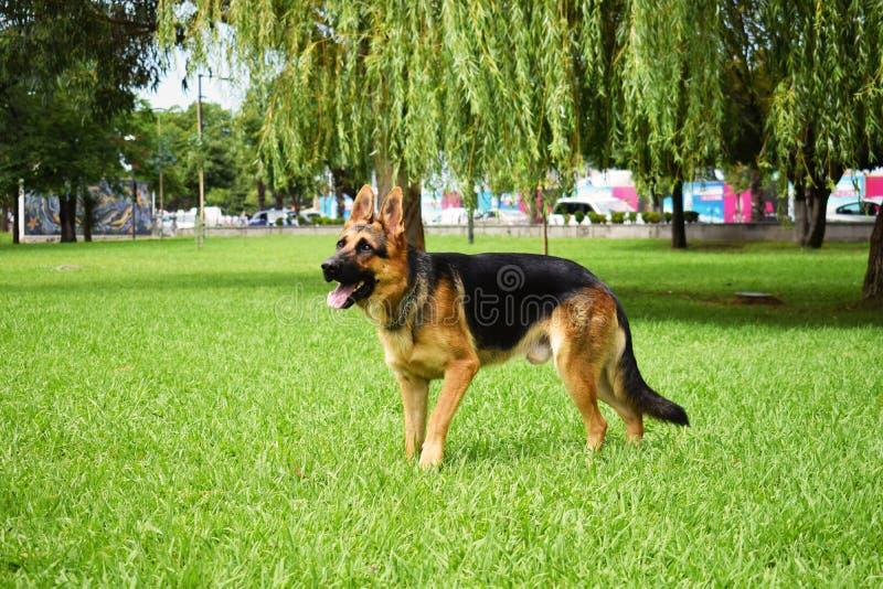 Το όμορφο σκυλί προβάτων στο πάρκο στοκ φωτογραφίες με δικαίωμα ελεύθερης χρήσης