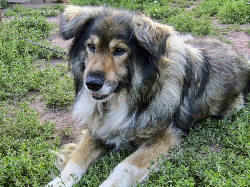 Το όμορφο σκυλί Jack σκέφτηκε για κάτι καθμένος σε μια αλυσίδα στοκ εικόνες