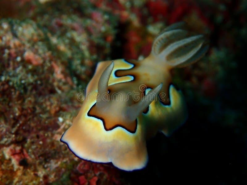 Το όμορφο coi Chromodoris nudibranch στο σημείο Barracuda, νησί Sipadan, Semporna, Tawau Sabah, Μαλαισία _ στοκ εικόνα