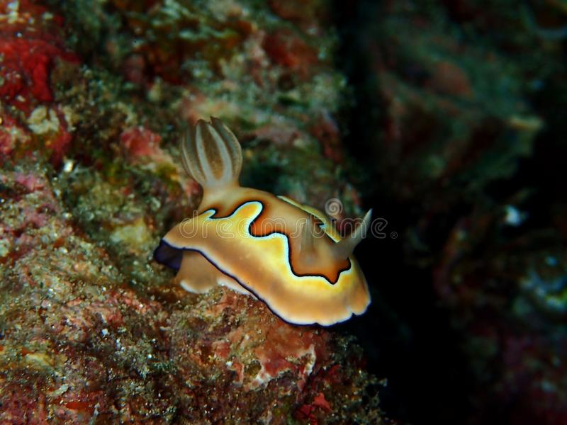 Το όμορφο coi Chromodoris nudibranch στο σημείο Barracuda, νησί Sipadan, Semporna, Tawau Sabah, Μαλαισία _ στοκ φωτογραφία με δικαίωμα ελεύθερης χρήσης