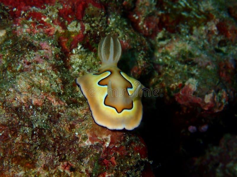 Το όμορφο coi Chromodoris nudibranch στο σημείο Barracuda, νησί Sipadan, Semporna, Tawau Sabah, Μαλαισία _ στοκ φωτογραφίες
