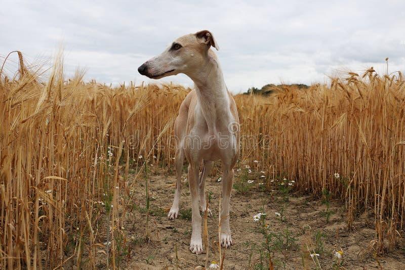 Το όμορφο galgo στέκεται σε έναν τομέα καλαμποκιού στοκ φωτογραφία με δικαίωμα ελεύθερης χρήσης