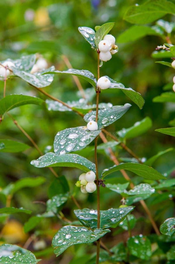 Το albus Symphoricarpos είναι ένα είδος ανθίζοντας φυτού στο ακόνι στοκ εικόνα με δικαίωμα ελεύθερης χρήσης
