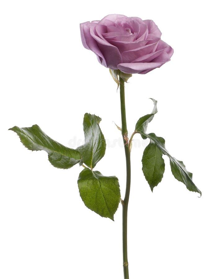 το aqua Rosa αυξήθηκε στοκ φωτογραφία