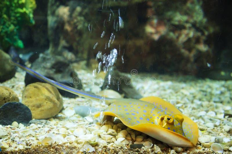 Το Bluespotted Stingray Bluespotted Ribbontail Ray, μπλε σημείο Stingray είναι ένα ελκυστικό ψάρι κατώτατων κατοικιών Έχει ένα σώ στοκ φωτογραφία