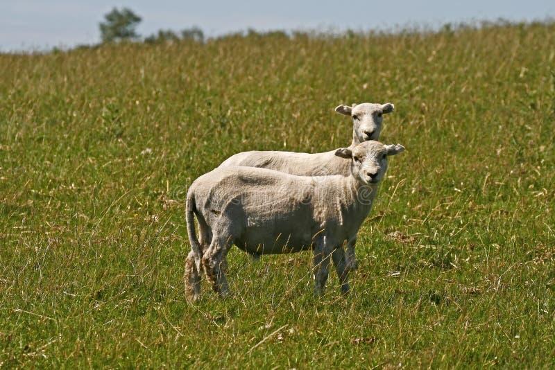 το Bodmin Αγγλία δένει Sheeps δύο Στοκ Φωτογραφία