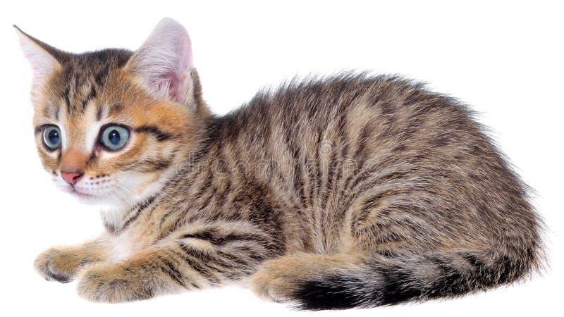Το brindled γατάκι Shorthair βρέθηκε στοκ φωτογραφίες με δικαίωμα ελεύθερης χρήσης