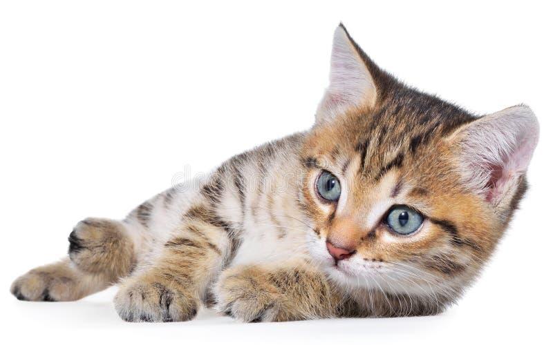Το brindled γατάκι Shorthair βρέθηκε στοκ φωτογραφία με δικαίωμα ελεύθερης χρήσης