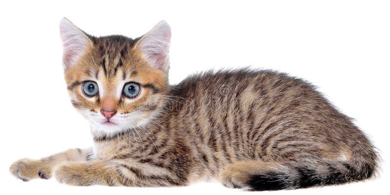 Το brindled γατάκι Shorthair βρέθηκε στοκ εικόνα με δικαίωμα ελεύθερης χρήσης