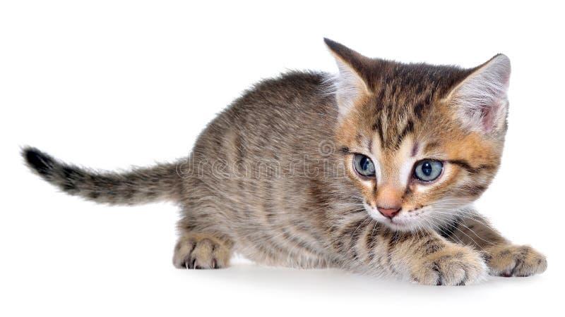 Το brindled γατάκι Shorthair βρέθηκε στοκ εικόνα