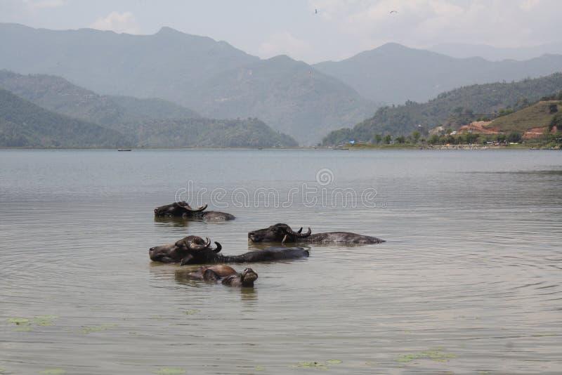 Το Buffalo νερού κολυμπά σε μια λίμνη σε Pokhara, Νεπάλ στοκ εικόνα