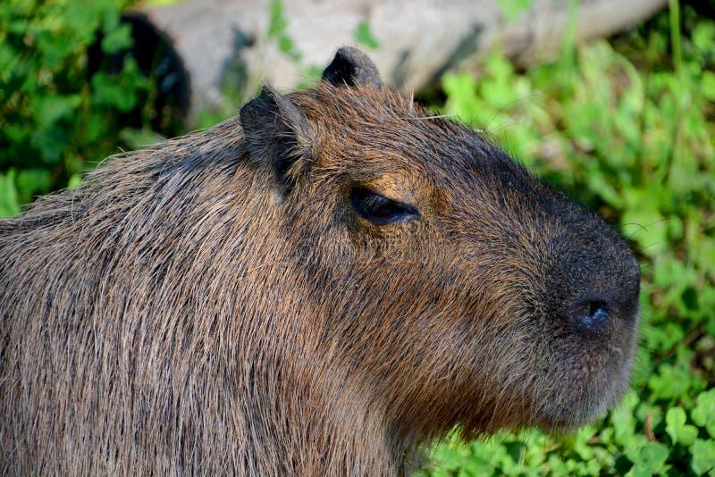 Το capybara στοκ φωτογραφίες