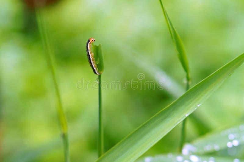 Το Caterpillar τρώει τη χλόη, ριγωτή κάμπια στη χλόη στοκ εικόνες