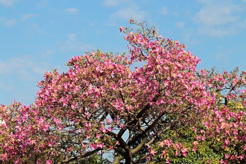 Το Ceiba Speciosa, οδοντώνει το μεθυσμένο ανθισμένο μπριζόλα τοπ δέντρο σε μια ηλιόλουστη ημέρα της Νότιας Αμερικής στοκ φωτογραφία με δικαίωμα ελεύθερης χρήσης