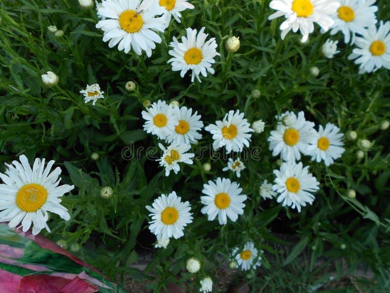 Το Chamomile είναι ένα χορτάρι που προέρχεται από τα Daisy-όπως λουλούδια της οικογένειας εγκαταστάσεων Asteraceae στοκ φωτογραφίες