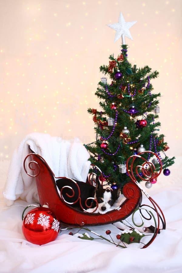 Το chihuachua Χριστουγέννων κάθεται στο έλκηθρο από το χριστουγεννιάτικο δέντρο στοκ φωτογραφία με δικαίωμα ελεύθερης χρήσης