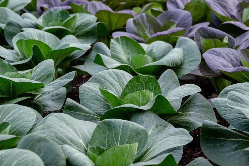 Το chinensis, κινεζικό λάχανο rapa κραμβολαχάνου ή pak το choi αυξάνεται στο αγρόκτημα Φρέσκια οργανική έννοια λαχανικών στοκ εικόνα με δικαίωμα ελεύθερης χρήσης