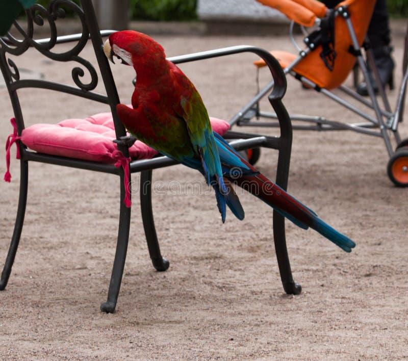 Το chloroptera Ara κόκκινος-και-μπλε macaw αισθάνεται καλά στο σπίτι στοκ εικόνες με δικαίωμα ελεύθερης χρήσης