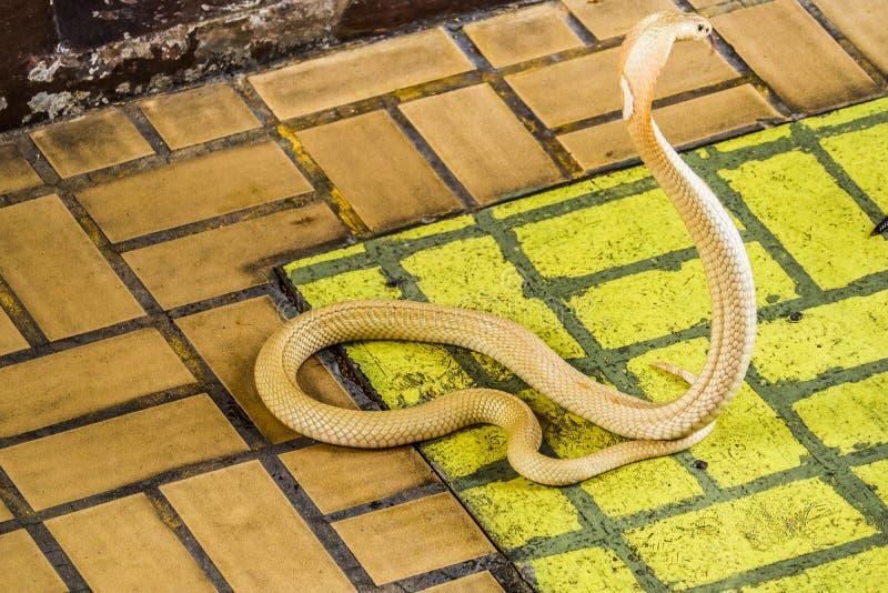 Το cobra διέδωσε την κουκούλα στοκ φωτογραφία με δικαίωμα ελεύθερης χρήσης