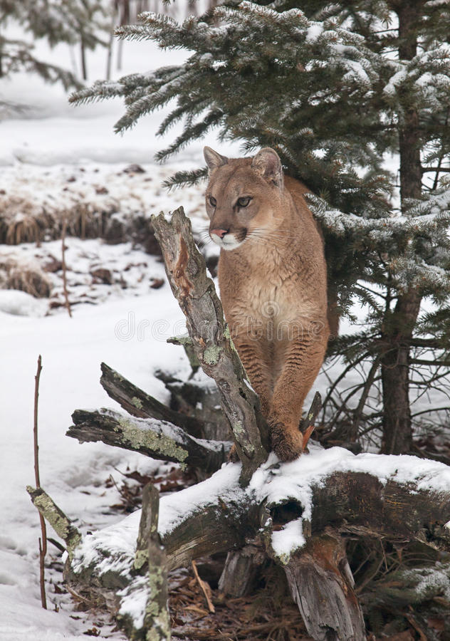 Cougar στοκ φωτογραφίες με δικαίωμα ελεύθερης χρήσης