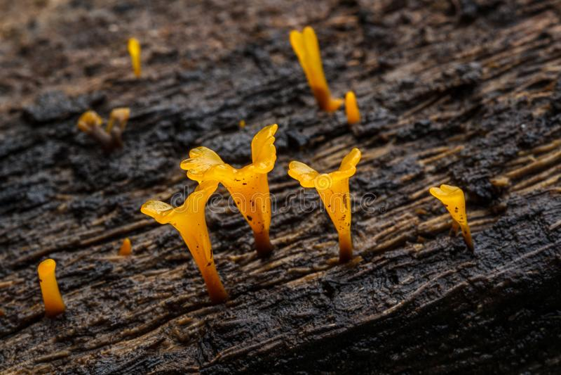 Το Dacryopinax Spathularia είναι κίτρινο στοκ φωτογραφία