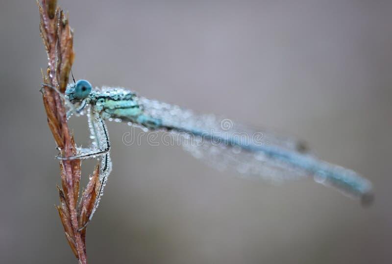 Το Damselflies είναι έντομα της υπόταξης Zygoptera στη διαταγή Odonata στοκ εικόνες