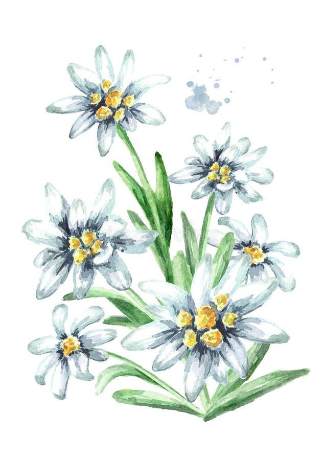 Το Edelweiss ανθίζει τη συρμένη χέρι απεικόνιση watercolor alpinum Leontopodium, που απομονώνεται στο άσπρο υπόβαθρο στοκ εικόνες