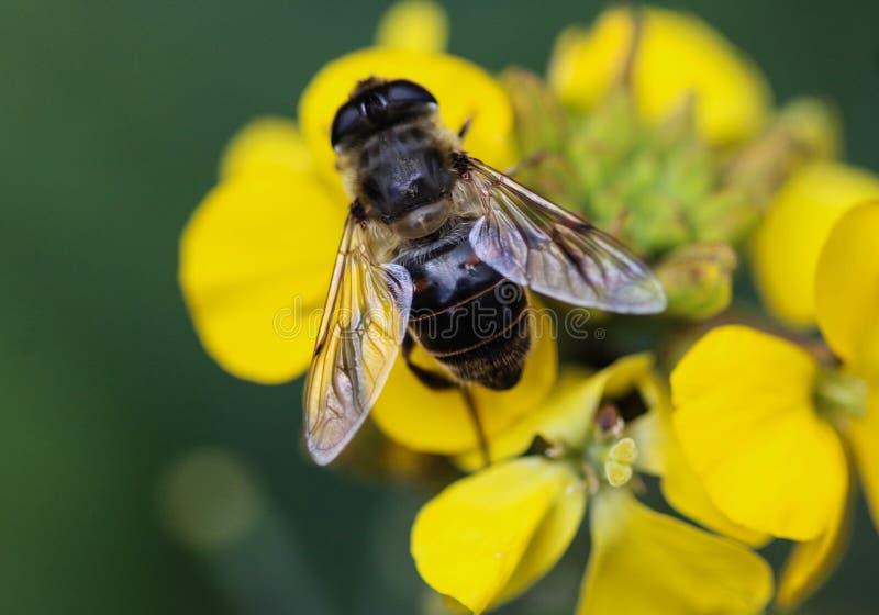 Το Eristalis tenax ή ο κηφήνας πετά, ένα ευρωπαϊκό hoverfly, καθμένος στο λουλούδι στοκ φωτογραφίες με δικαίωμα ελεύθερης χρήσης
