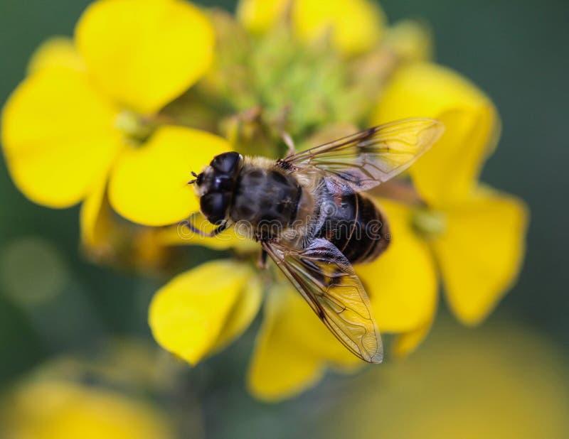 Το Eristalis tenax ή ο κηφήνας πετά, ένα ευρωπαϊκό hoverfly, καθμένος στο λουλούδι στοκ εικόνα