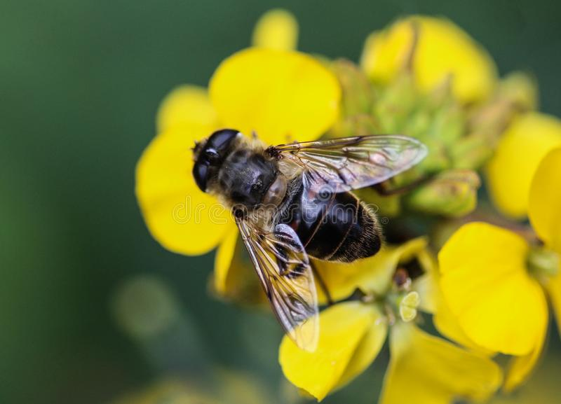 Το Eristalis tenax ή ο κηφήνας πετά, ένα ευρωπαϊκό hoverfly, καθμένος στο λουλούδι στοκ φωτογραφίες