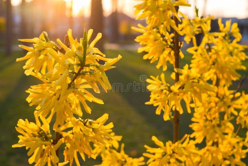 Το Forsythia είναι ένας διακοσμητικός αποβαλλόμενος θάμνος με το κίτρινο λουλούδι σε αναδρομικά φωτισμένο r στοκ εικόνες