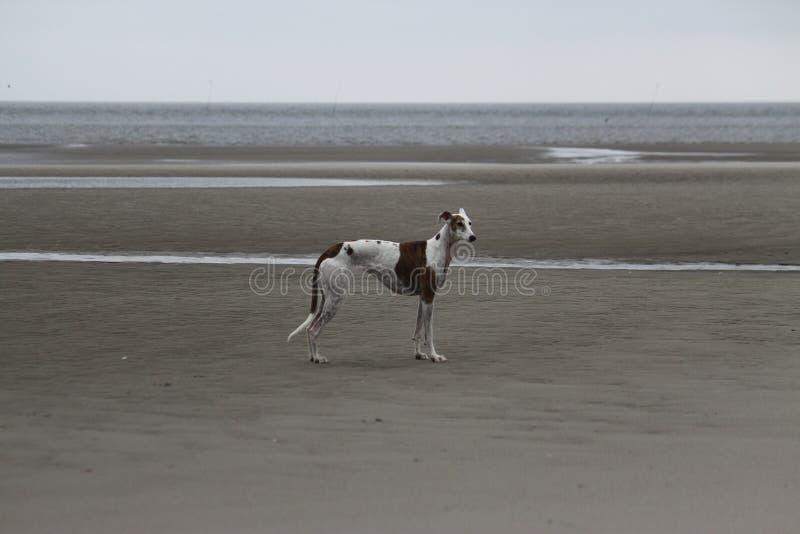 Το Galgo στέκεται στη θάλασσα στοκ εικόνες με δικαίωμα ελεύθερης χρήσης