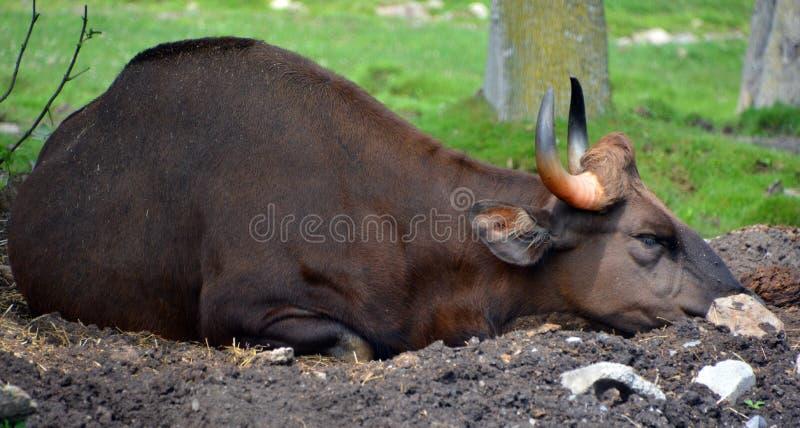 Το gaur ή ο ινδικός βίσωνας στοκ φωτογραφία με δικαίωμα ελεύθερης χρήσης