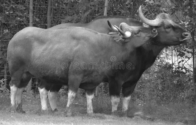 Το gaur στοκ εικόνα