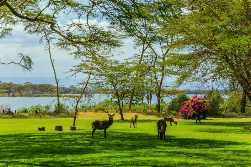 Το Gazelles βόσκει στη χλόη στοκ φωτογραφίες με δικαίωμα ελεύθερης χρήσης