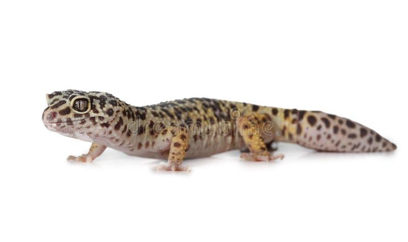 Το gecko λεοπαρδάλεων πέρα από το λευκό στοκ φωτογραφία