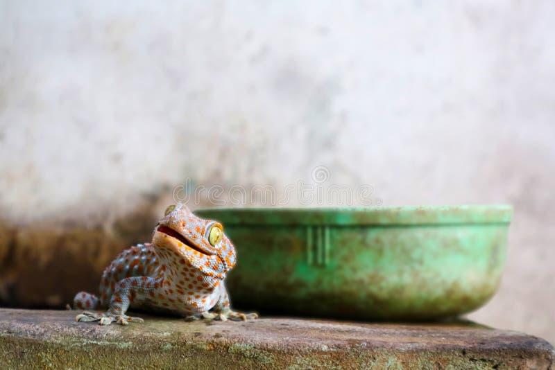 το gecko περιήλθε από τον τοίχο στη δεξαμενή νερού και αναρριχήθηκε στην άκρη της λεκάνης στοκ εικόνες