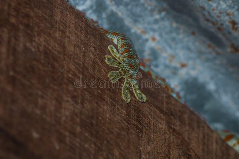 το gecko στη στέγη στοκ εικόνα με δικαίωμα ελεύθερης χρήσης