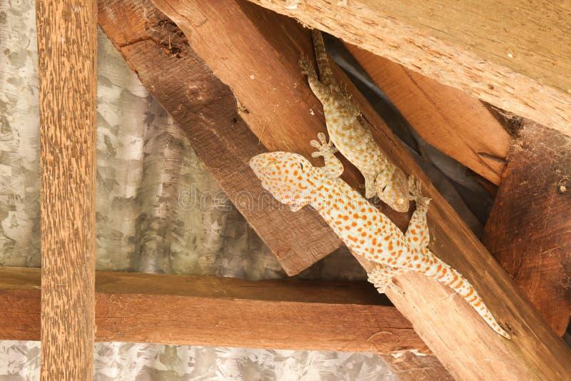 Το gecko στοκ εικόνα με δικαίωμα ελεύθερης χρήσης