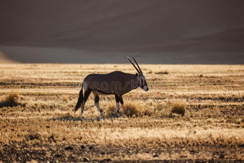 Το Gemsbok Oryx βόσκει στην της Ναμίμπια έρημο στοκ εικόνες με δικαίωμα ελεύθερης χρήσης