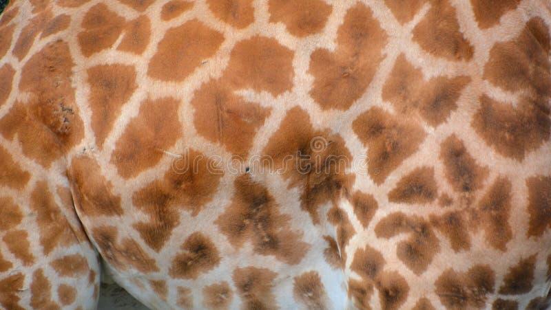 Το giraffe δέρμα στοκ εικόνες