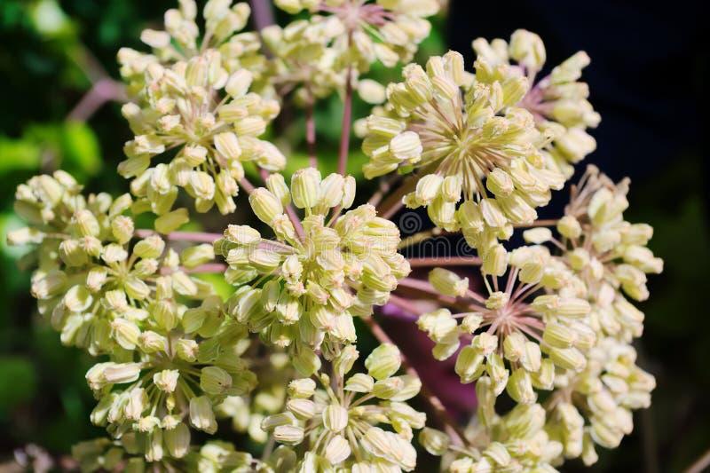 Το Globular umbel του archangelica της Angelica, angelica κήπων ή του άγριου λευκού σέλινου ανθίζει στοκ φωτογραφίες