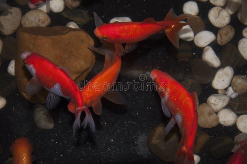 το goldfish01 στοκ φωτογραφία με δικαίωμα ελεύθερης χρήσης