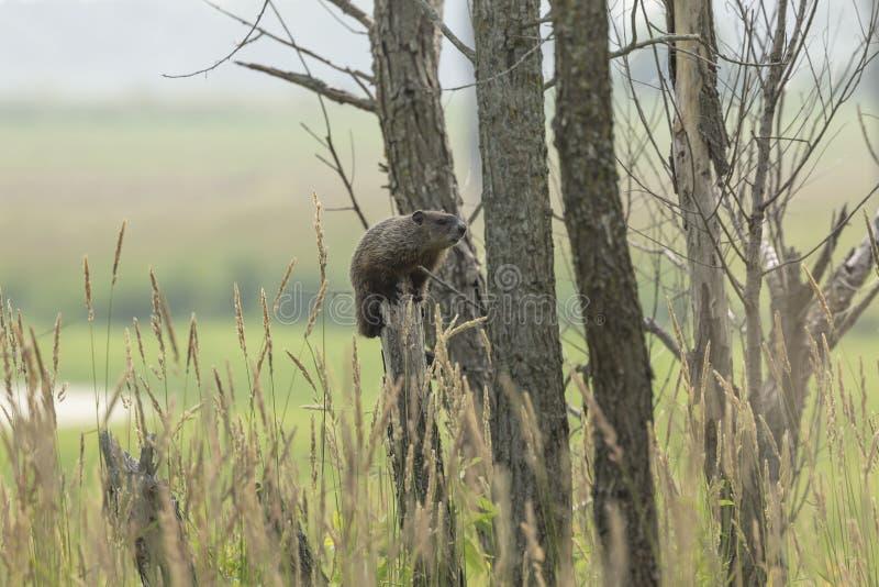Το groundhog Marmota monax, επίσης γνωστός ως woodchuck στοκ φωτογραφίες
