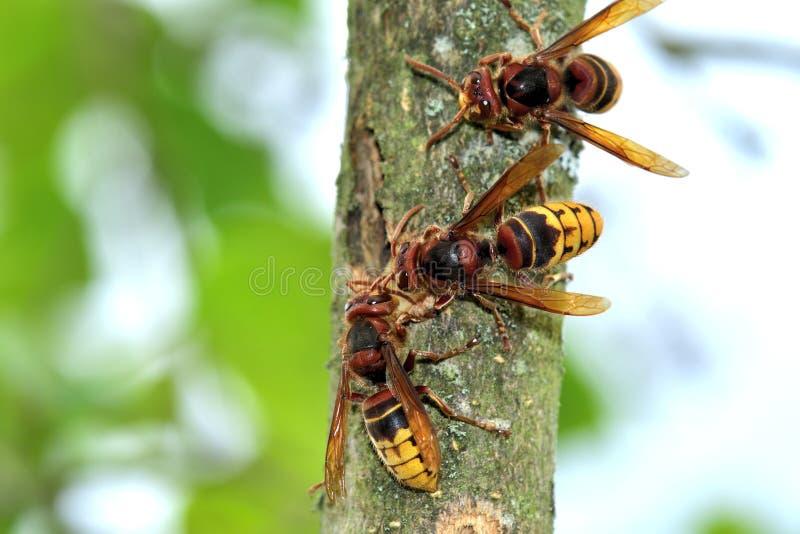 Το hornet τρώει το γλυκό φλοιό ενός δέντρου στοκ εικόνες